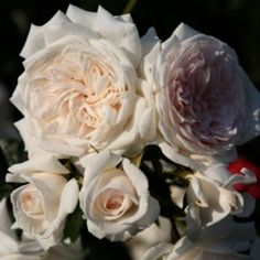 Honeymoon™️ rose. Numerous clusters of romantic, cup-shaped creamy flowers on a moderate-sized climber which is suitable for lower fences, small arbors, and trellises.Along with it's managelble size, the allure of honeymoon is represented in it's disease resistance and sweet, old-fashioned rose fragrance. A true garden gem.