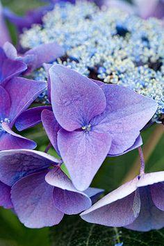 I want to paint this. Hortensia Hydrangea, Hydrangea Quercifolia, Hydrangea Garden, Little Flowers, Pretty Flowers, Purple Flowers, Peonies And Hydrangeas, Henri Matisse, Most Beautiful Flowers