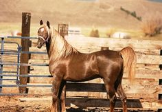 AK KHALEEM #250146 (Moniet El Sharaf x Haala Sultana, by *Sultann) 1982 chestnut stallion bred by Donald R Ford/ Lancer Arabians
