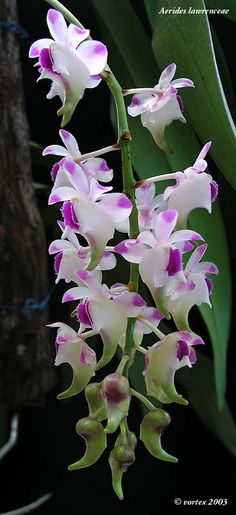 Inflorescence of Aerides lawrenciae