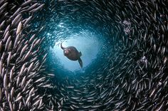Fish #shoal  #Swarm #intelligence