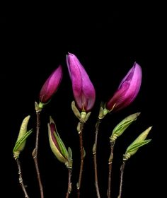 42233 Magnolia by horticultural art, via Flickr