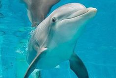 Clearwater Marine Aquarium:    Im an Atlantic Bottlenose dolphin who lost my tail after getting entangled in a crab trap. I recently took up acting and played myself in Dolphin Tale.