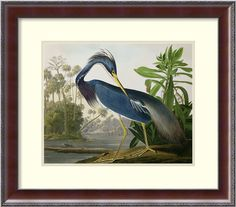 Louisiana Heron, from 'Birds of America', engraved by Robert Havell, 1834 by John James Audubon Framed Painting Print