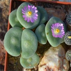 200 Pcs Rare Living Stones Mix Lithops bonsai Blooming Flower Succulent Cactus Organic Garden Bulk bonsai For Home Garden Succulent Seeds, Cacti And Succulents, Planting Succulents, Succulent Gardening, Cactus Seeds, Bonsai Plante, Cactus Plante, Large Flower Pots, Cactus Flower