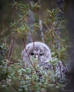 Mondays  •   or ?  •  #monday #mondays #cute #uralowl #owl #viirupöllö #bird #birds #birdphotography #birdsofinstagram #finland #tired #suomenluonto #finnishnature #nature #naturelovers #nature_perfection #nature_shooters #only_raptors #instagood #pöllö #owlet #beautiful #bestbirdshots #canonnordic #luonto #eyes #EarthCapture #owleyes #owl_feature