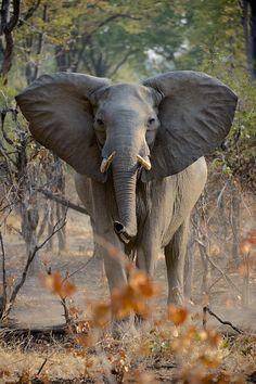 Female elephant near the South Luangwa NP. Photo by Stefan Rosengarten.