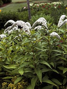 Gooseneck loosestrife Lysimachia clethroides rises to 3 feet tall with stems topped with curved spikes of small white flowers. It is sometimes used as a cut flower. It is very aggressive and can become a nuisance. Zones 4-9 likes moist soil, so I doubt it will spread much in yard, but, will it grow in back window bed?