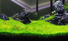 Favourites: CRS tank bySimona DevinuA lovely shrimp hill scenery