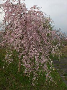 菰野大羽根園地区 桜
