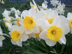 Daffodil Flowers, Daffodils, Visual Memory, Flower Wallpaper, Flower Tattoos, Image Sharing, Tattoo Images, Picture Tattoos, Original Image