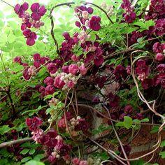 Akebia quinata - Plantes et Jardins