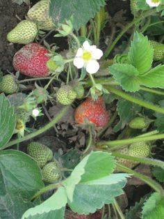 Strawberries turning from green to red on the farm.