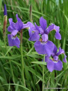 Siberian Iris: Iris 'Caesar's Brother'