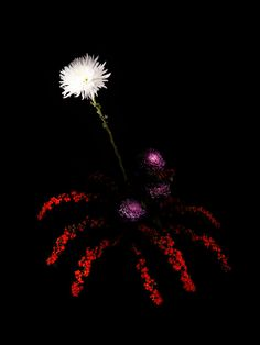 FLOWERWORK - The new photographic series by artist Sarah Illengerber of flowers arranged in the style of fireworks!