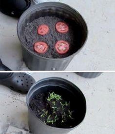 Para cultivar tomate planta algunas rodajas de éste en composta y en pocos días verás brotar las plantitas.