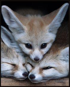Fennic Huddle by Автор скрыт http://llbwwb.tumblr.com/post/30627286666/fennic-huddle-by