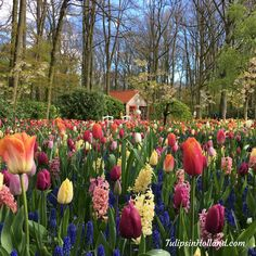 House of Miffy (Nijntje) with a garden full of colorful flowers #travel to the #tulipsinholland spring 2018 http://tulipsinholland.com/sign-up-for-weekly-flower-update/?utm_content=buffer4e9b0&utm_medium=social&utm_source=pinterest.com&utm_campaign=buffer