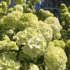 Viburnum Hedge row  Chinese Snowball Viburnum (Viburnum macrocephalum) is a deciduous shrub often used as a hedge.Produces very showy white flowers that look similar to hydrangea blooms. Often times confused with a hydrangea. They are in a different family. And the Chinese Snowball blooms in earlier in spring versus a hydrangea that blooms in summer, usually late May.  Average size is 6-10 feet tall x 6-10 wideUSDA Zones: 6 - 9Prefers full sun to part shadeMedium wa...