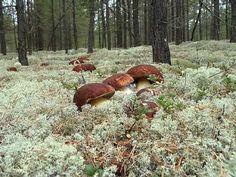 YouTube cèpes champignons
