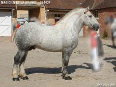 Percheron (Trait type) stallion Magicien de la Grange Beautiful Horses, Animals Beautiful, Percheron Horses, Big Horses, Horse Drawings, Draft Horses, Horse Breeds, Animals And Pets, Equestrian