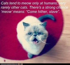 "Cats tend to meow only at humans, very rarely other cats. There's a strong chance 'meow' means: ""Come hither, slave""."