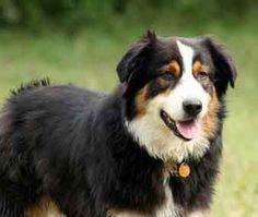 Australian Shepherds - Truly beautiful dogs