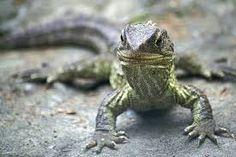 tuatara - our very own little dinosaur