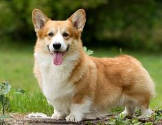 Pembroke Welsh Corgi - Alert and Affectionate Corgi Meme, Corgi Husky, Corgi Facts, Cute Corgi, Cute Puppies, Dogs And Puppies, Pembroke Welsh Corgi Puppies, Corgi Pictures, Dog Breeds
