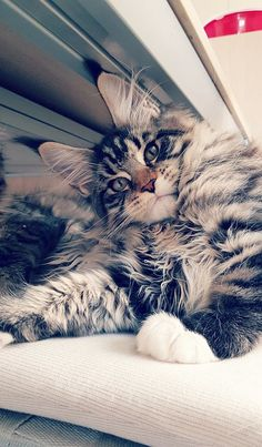 MAINE COON....aka snowshoe cat....gentle, easy going, active, independent, intelligent....great mouser....sheds constantly....good with all ages and other pets