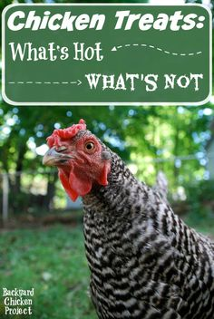 If you're raising chickens, it's important to know which treats are nutritious and which are poisonous. Chicken Treats: What's Hot… What's Not | Backyard Chicken Project