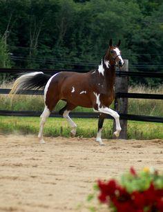 tobiano paint horse