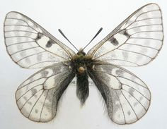 Parnassius Butterfly (Nosie Male Species, Tibet Insect Collection)