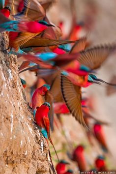 Burrard-Lucas Photography · · Carmine bee-eaters taking flight, South Luangwa, Zambia.