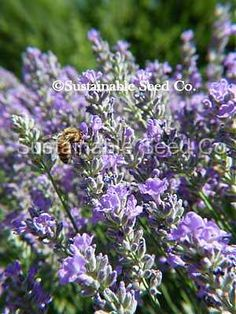 True Lavender Seeds    40 seeds per packet         A woody shrub that is famous for its amazing fragrance and medicinal properties.    Lavender likes full sun and a well draining slightly alkaline soil.    Lavender is hardy to Zone 5  $1.99
