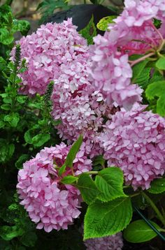 Hydrangeas from  Three Dogs in a Garden: Joe's Garden: Part 1