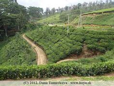 Tea plantation Botanical Gardens, Sri Lanka, Vineyard, Tea, Plants, Outdoor, Outdoors, Vine Yard, Vineyard Vines