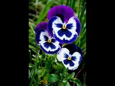 24 colors Mexican pansy seeds Wavy Viola Tricolor Flower Seeds bonsai potted plant DIY home & garden Hot sale Exotic Flowers, Colorful Flowers, Beautiful Flowers, Purple Flowers, Yellow Roses, Pink Roses, Happy Flowers, Pink Blue, Pansies