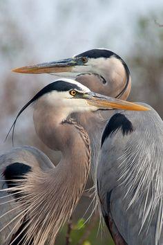 Great Blue Heron, photo by George Andrews Pretty Birds, Beautiful Birds, Animals Beautiful, Exotic Birds, Colorful Birds, Sea Birds, Wild Birds, Photo Animaliere, Shorebirds