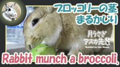 ブロッコリーの茎まるかじり【ウサギのだいだい 】 Rabbit munch a broccoli. 2016年2月22日