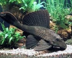 Sailfin Pleco......I had one named Rudy but he recently passed when our ac went out for a day or two and he began showing signs when he wouldnt eat and began awkwardly twirling around in the tank :(