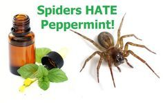 Spiders do not like peppermint oil. The strong smell will send them scurrying in the other direction and away from your home.  (They also do not like citrus smells like lemon, lime, and orange)