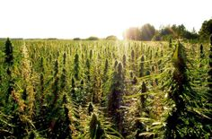 Buy CBD oil for sale from HempLife Today! We are proud to be a top CBD oil company producing the world's finest USA-grown hemp oil naturally rich in CBD. Oregon Usa, Perfect Image, Perfect Photo, Love Photos, Cool Pictures, Cbd Oil For Sale, Cbd Hemp Oil, Marijuana Plants, Medical Marijuana