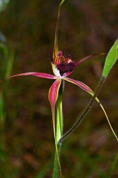 Carousel Spider Orchid (Caladenia arenicola)