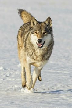 WONDERFUL, HAPPY, SWEET, AMAZING WOLF <3<3<3<3<3<3<3