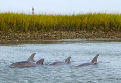Dolphins in the Lowcountry... used to see these beautiful creatures by our boat on the Ashley