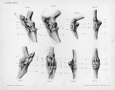 Das Pferd, Tafel 18 Other Title: The horse Dittrich, Herman These are lateral, medial and cranial views of the stifle (Figs. 60-63) and lateral, medial and cranial views of the carpus (Figs. 64-67) displaying the bony and ligamentous components of each.