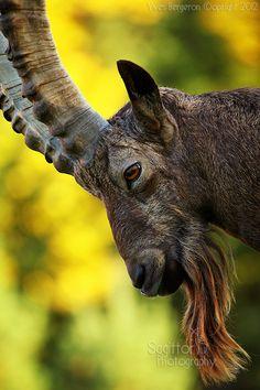 ~~Baltazar ~ male Yanghir (Siberian Ibex) by Sagittor~~