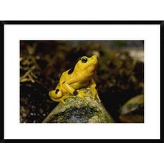 """Global Gallery 'Panamanian Golden Frog, Native To Panama' Framed Photographic Print Size: 22"""" H x 30"""" W x 1.5"""" D"""