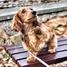 The place for dachshund lovers Corgi Dachshund, Daschund, Beagle Puppy, Weenie Dogs, Doggies, Cute Dogs And Puppies, Puppies Puppies, Cute Animals, Hilarious Animals